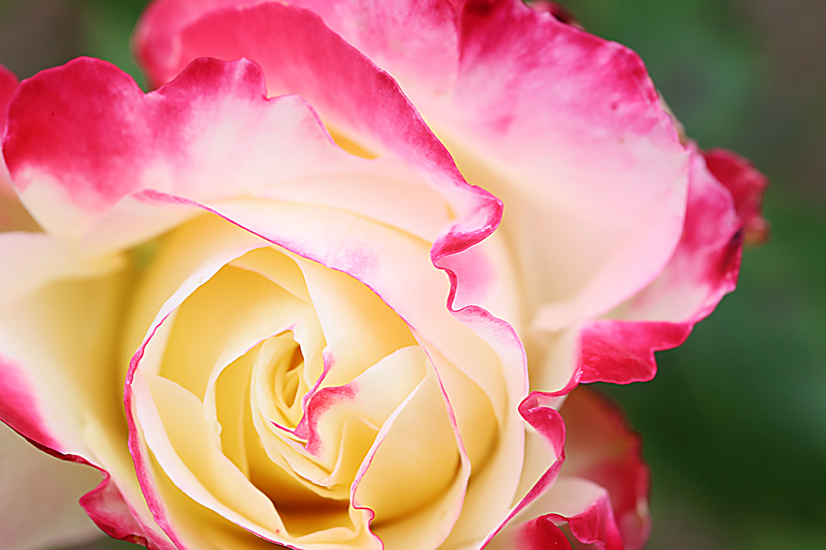 Double Delight Roses Are the Two-Tone Blooms of Your Dreams