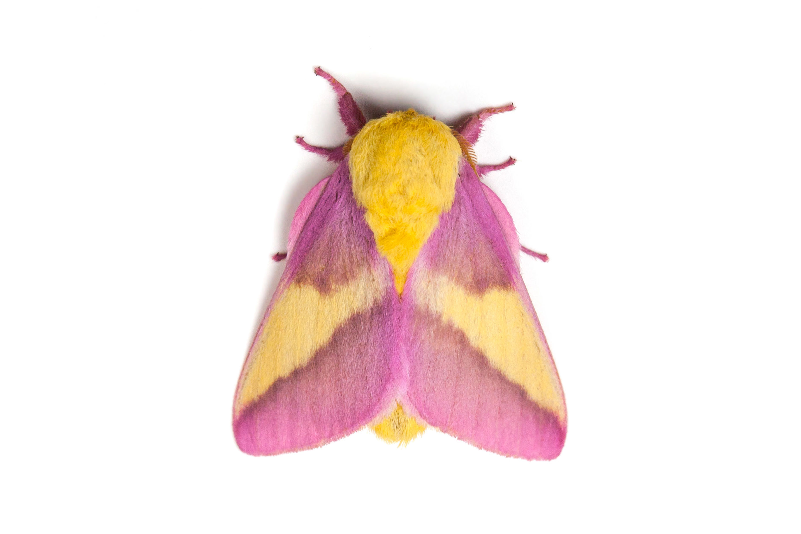 The Pink-and-Yellow Rosy Maple Moth Is an Eye-Catching Garden Visitor