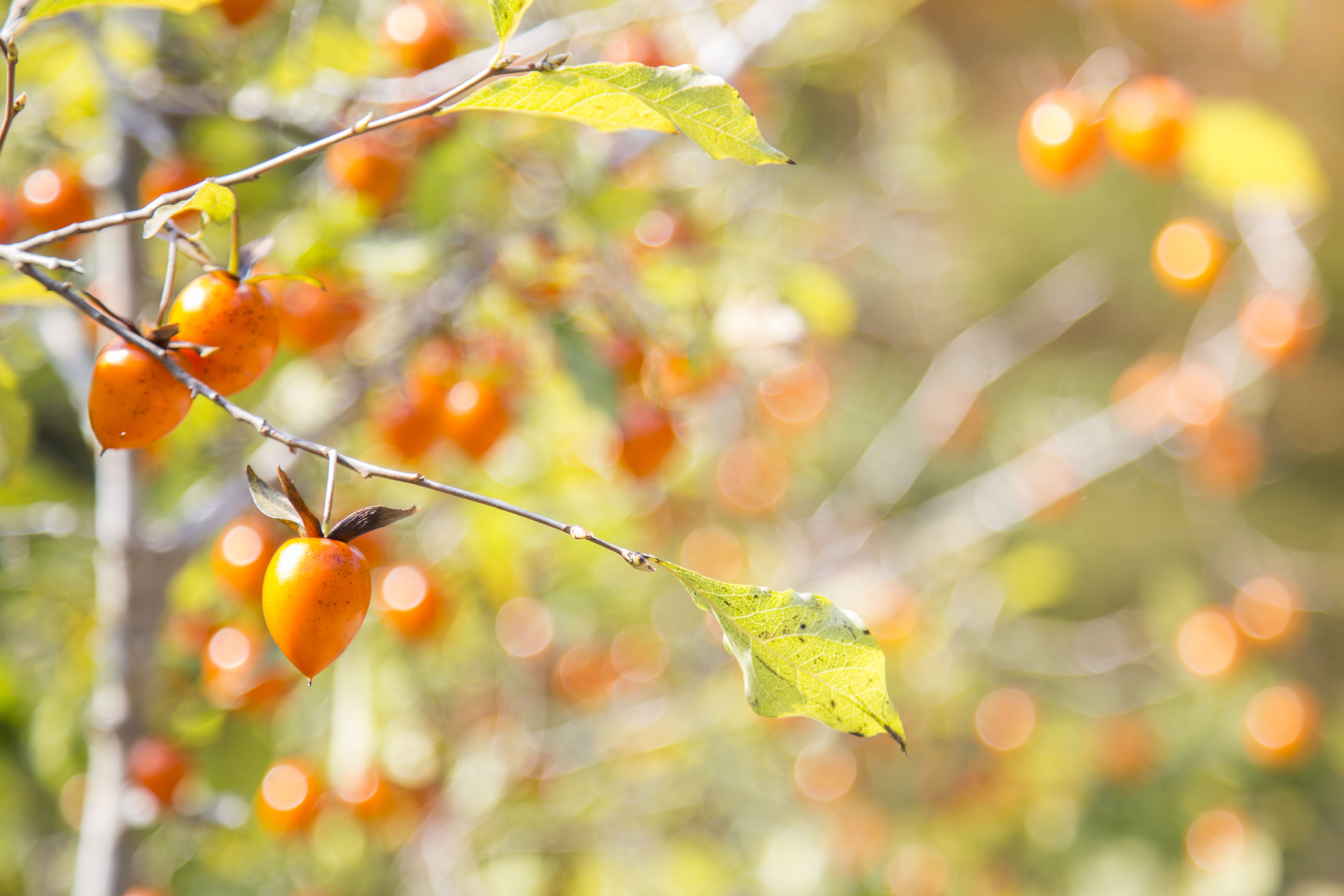 Persimmon Trees Have Sweet Fruit and Gorgeous Fall Foliage