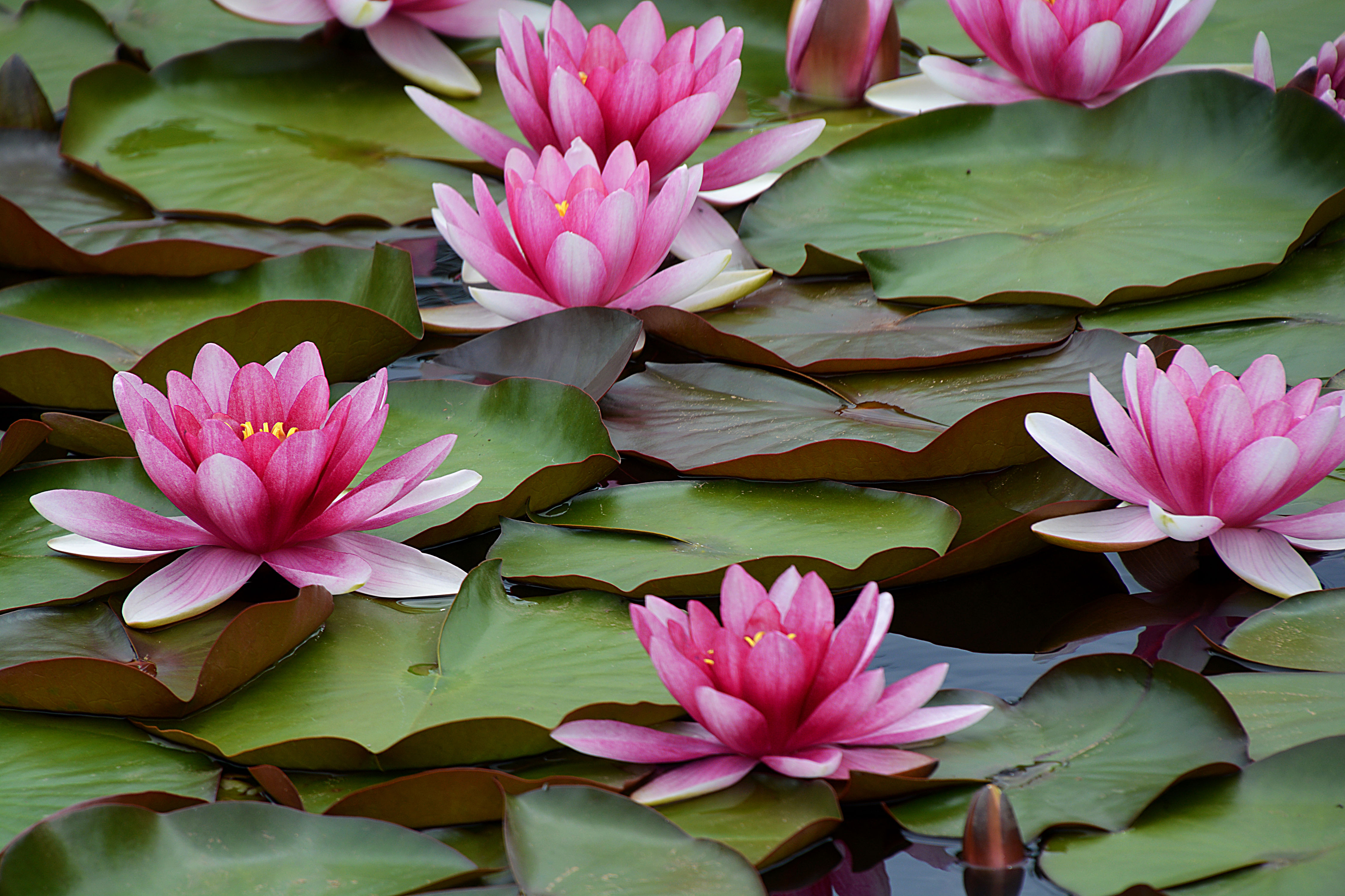 Water Lilies Are the Gorgeous Aquatic Blooms Anyone Can Grow