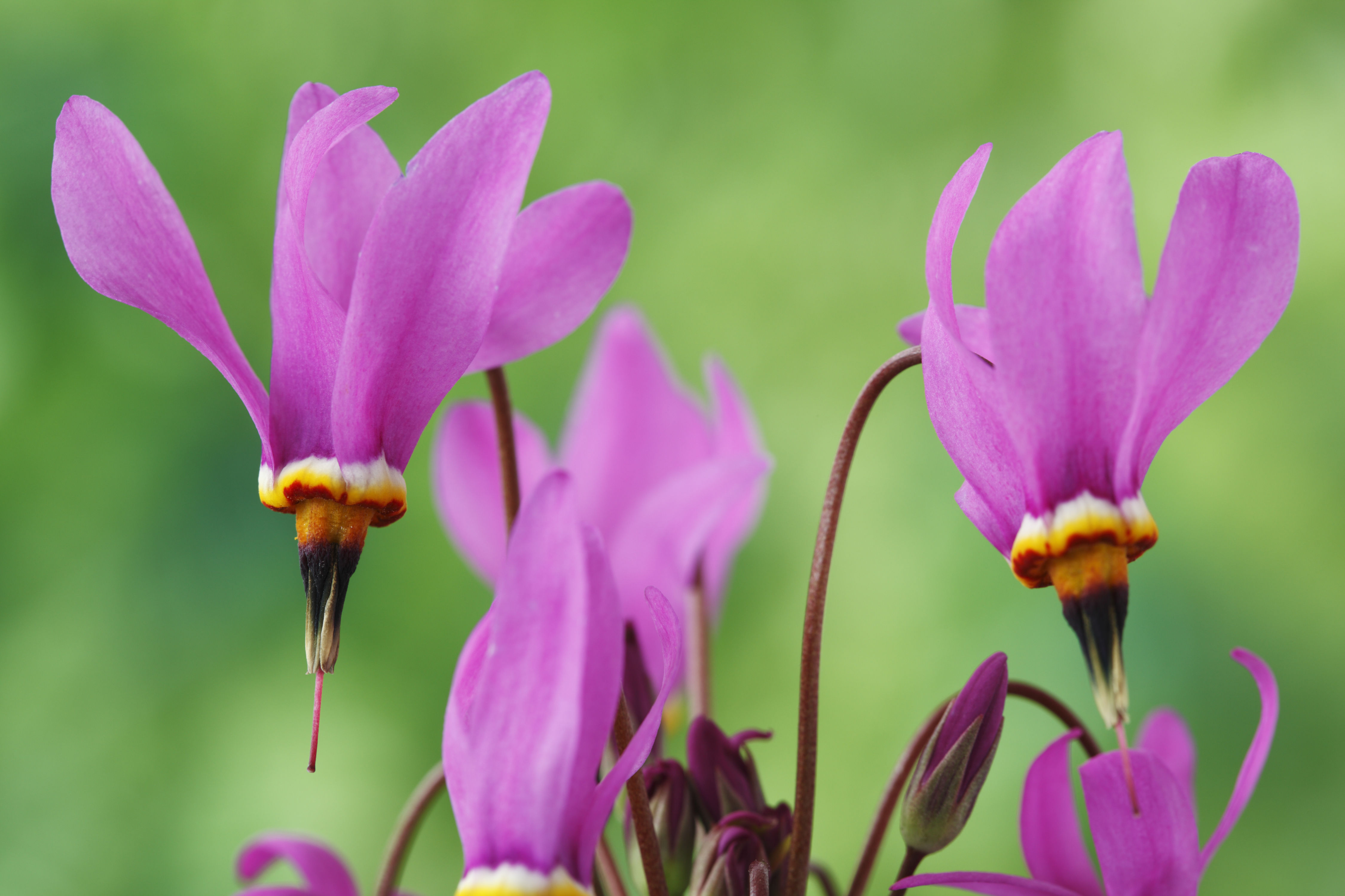 Everyone Can Glimpse a Shooting Star in the Garden Thanks to This Plant