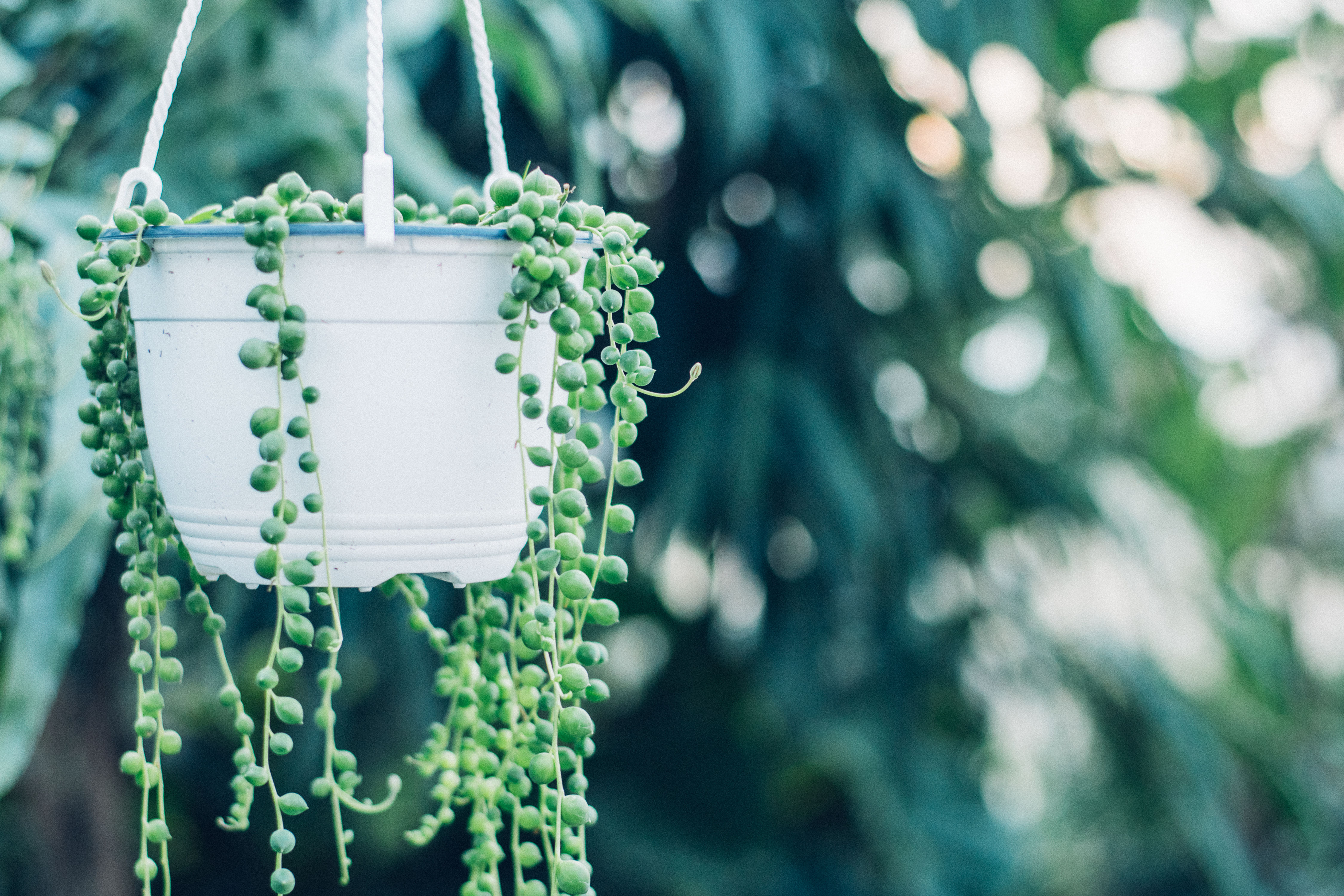 String-of-Pearls Is Everyone's Favorite Globular Succulent