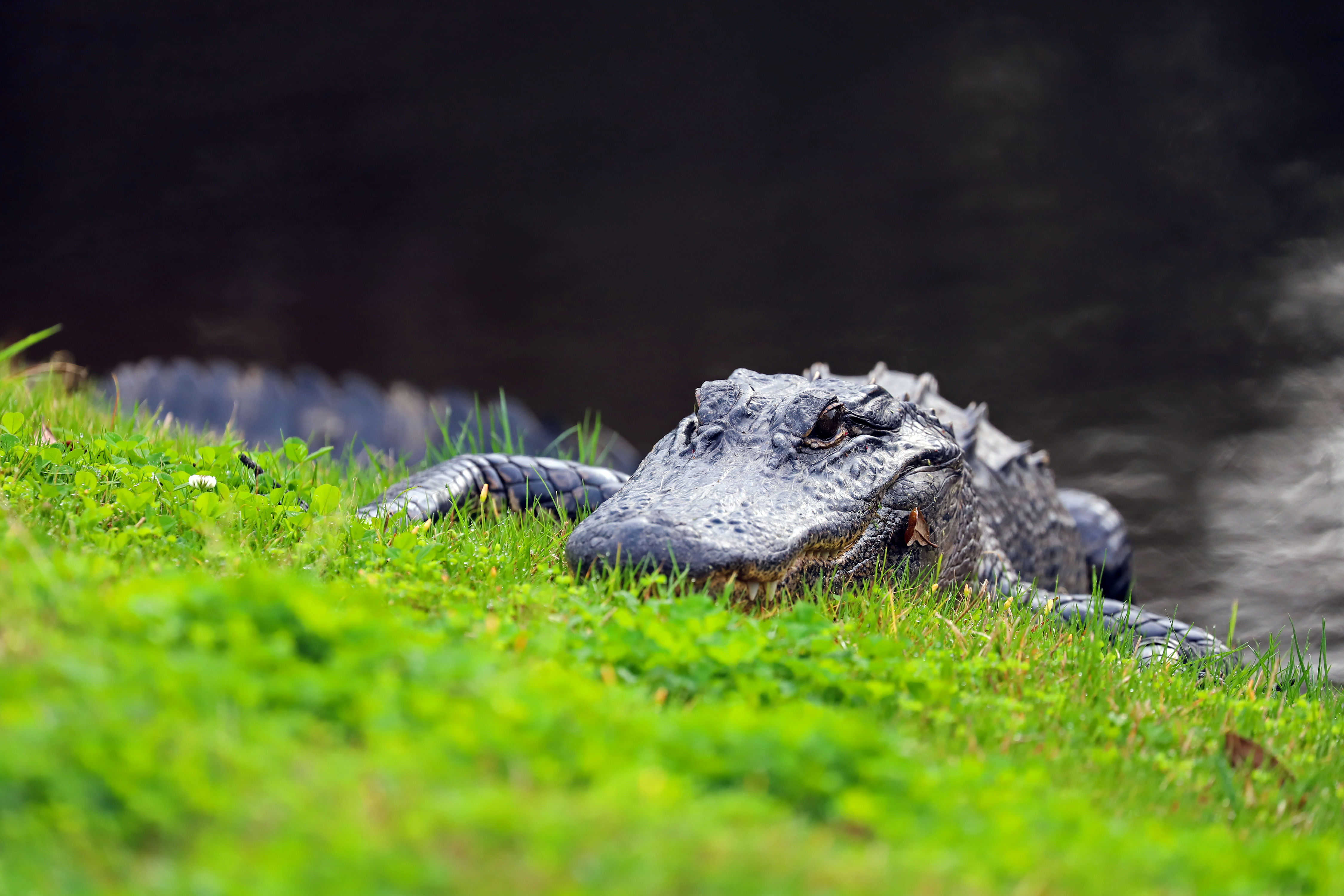 From Scaling Fences to Swimming Through Intersections, Florida Alligators Had Quite the Week