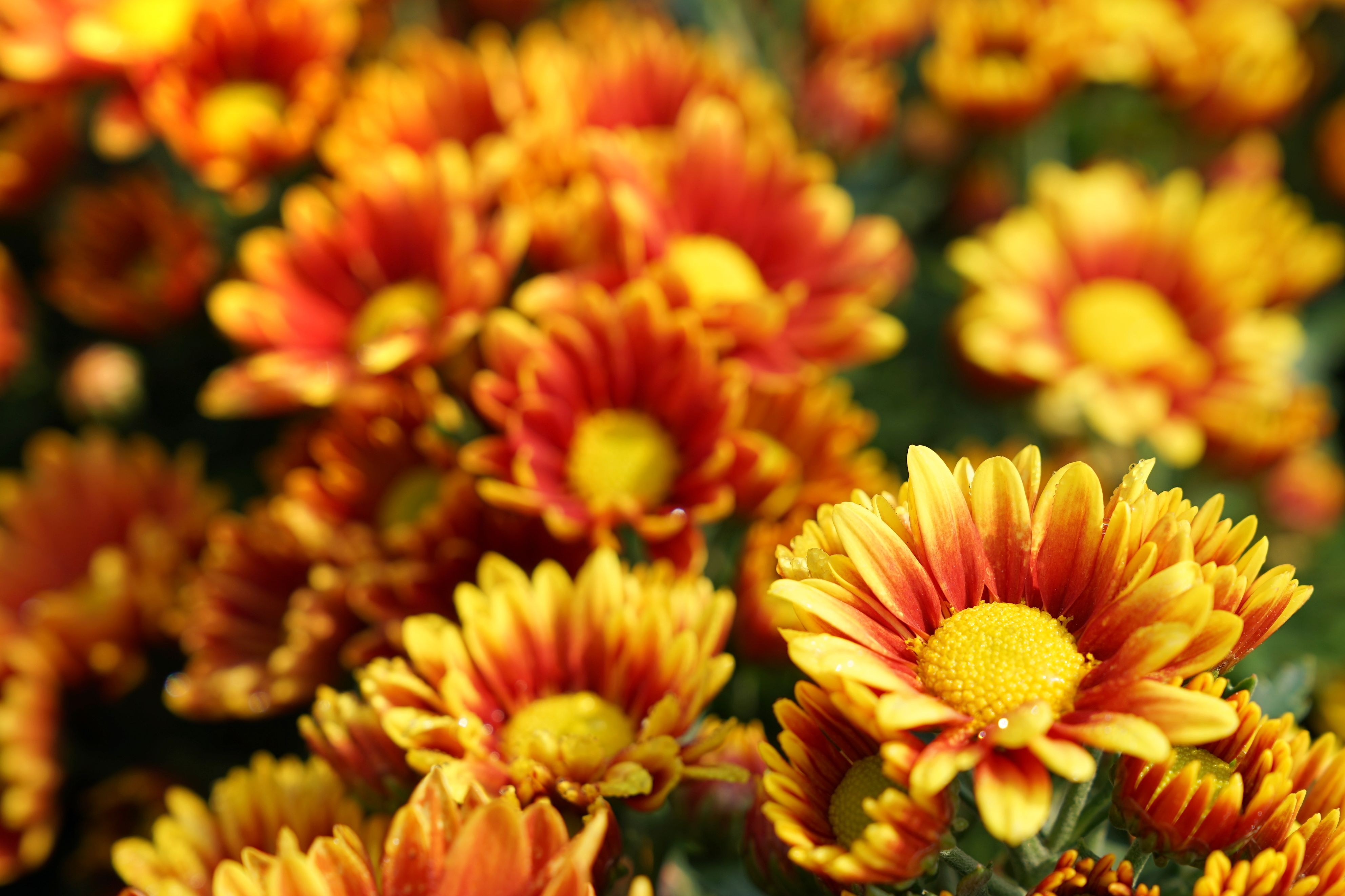 When's the Perfect Time To Buy Your Mums This Fall?
