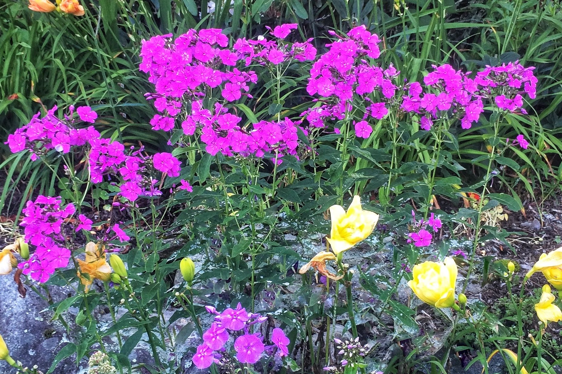 Tend to Your Phlox