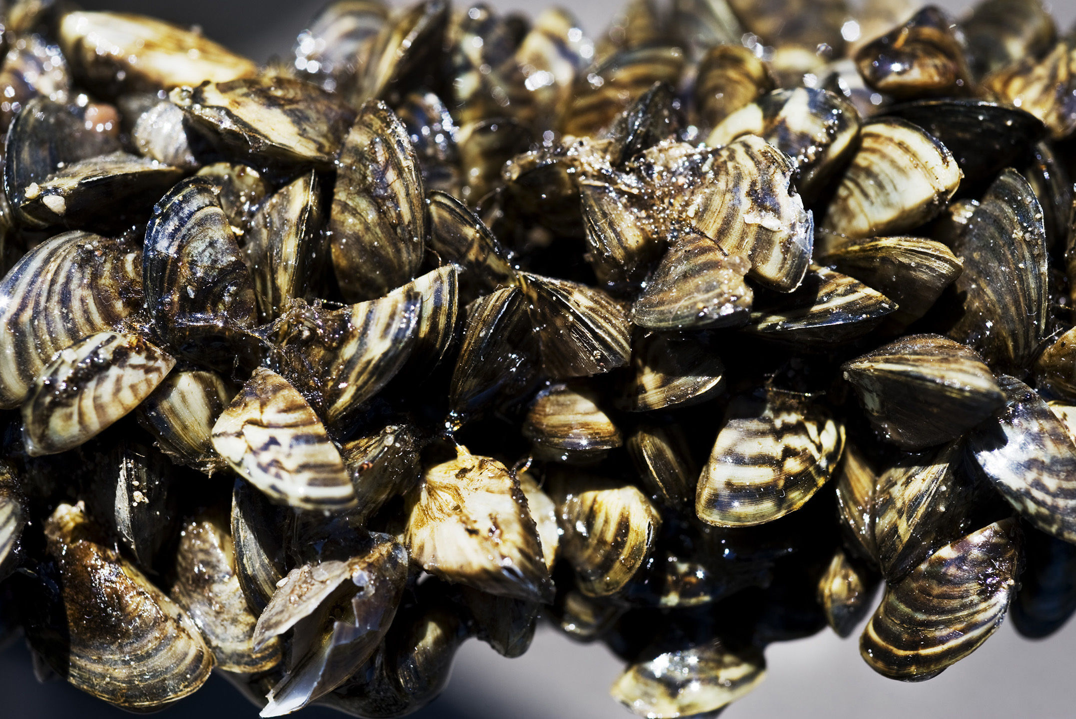 What are Zebra Mussels?