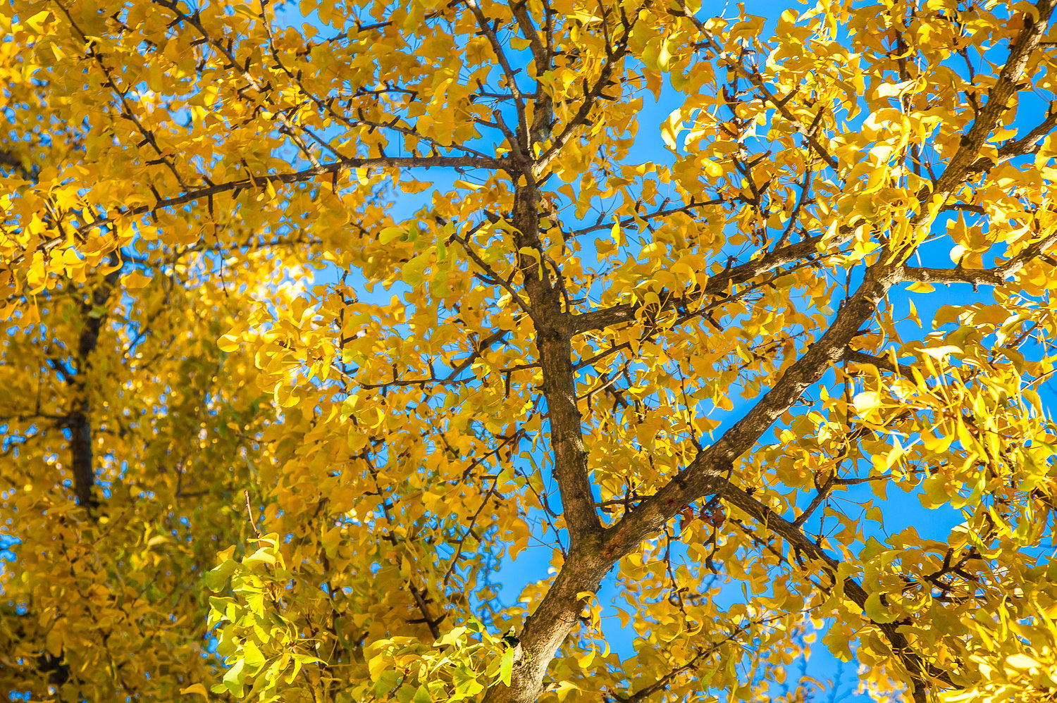 Why We Still Plant and Love the Ginkgo Tree