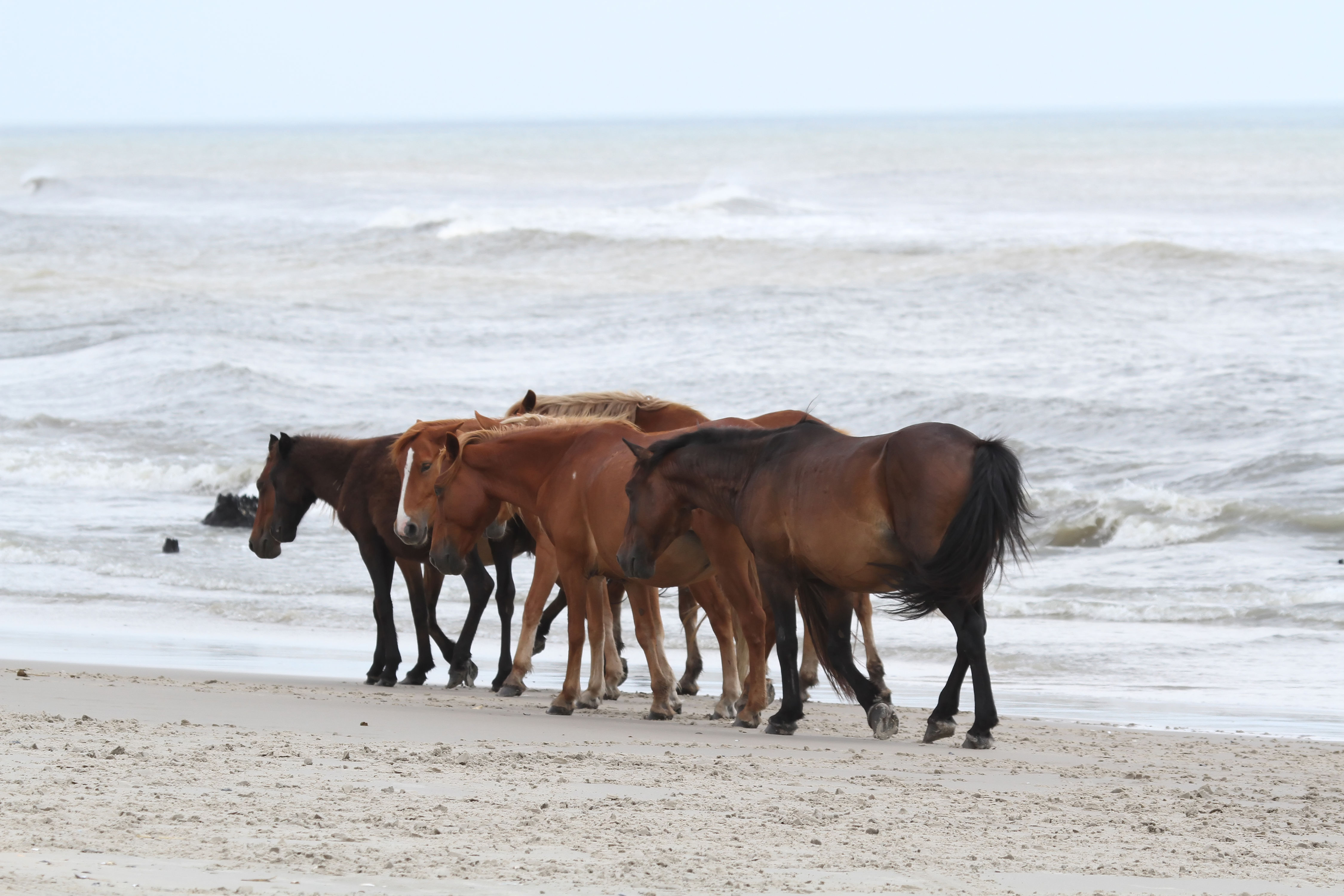 WATCH: North Carolina's Wild Horses Will Rely on This Interesting Trick to Weather Hurricane Dorian