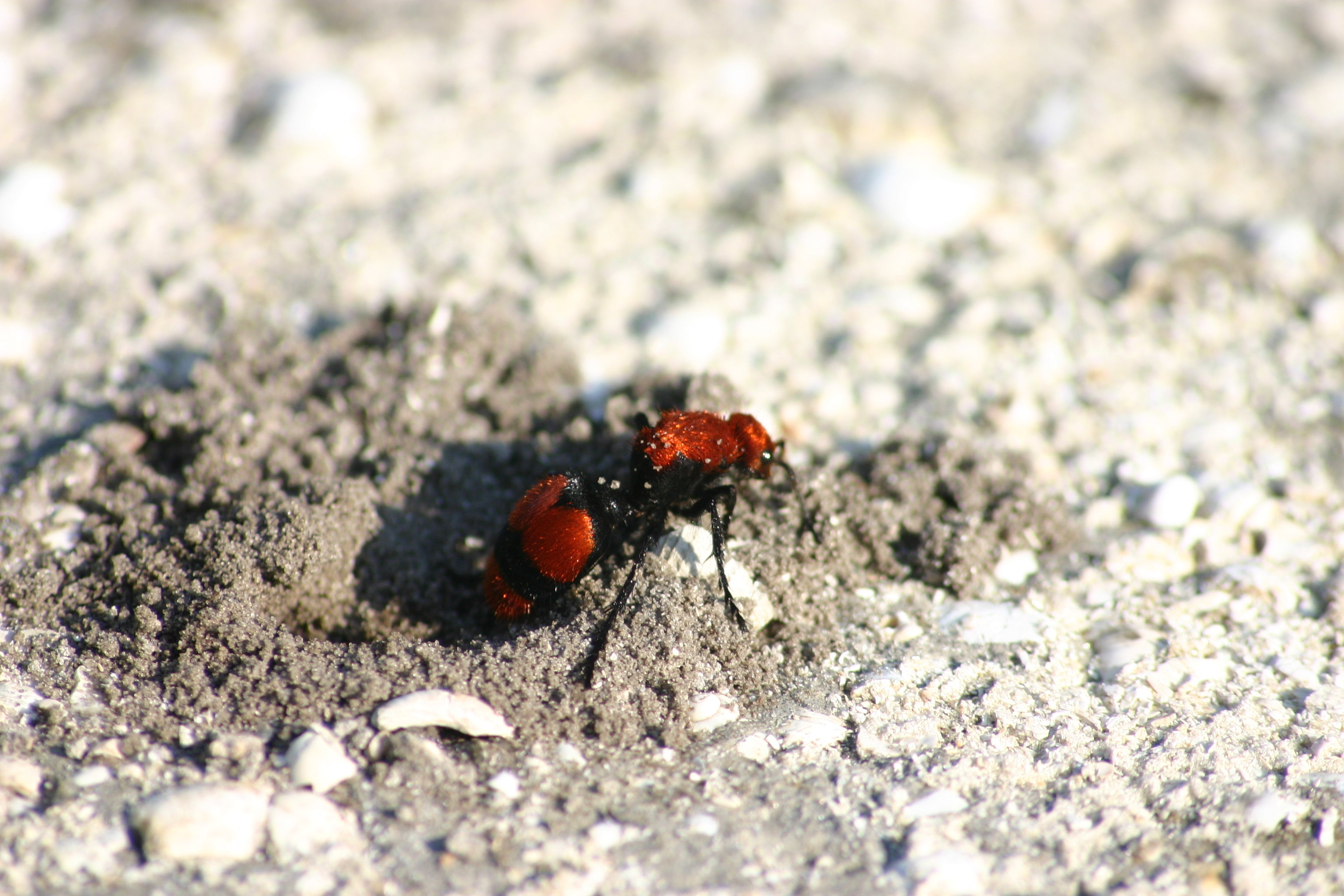 "National Park Warns Against Bug With Sting so Painful It's Known as the ""Cow Killer Ant"""