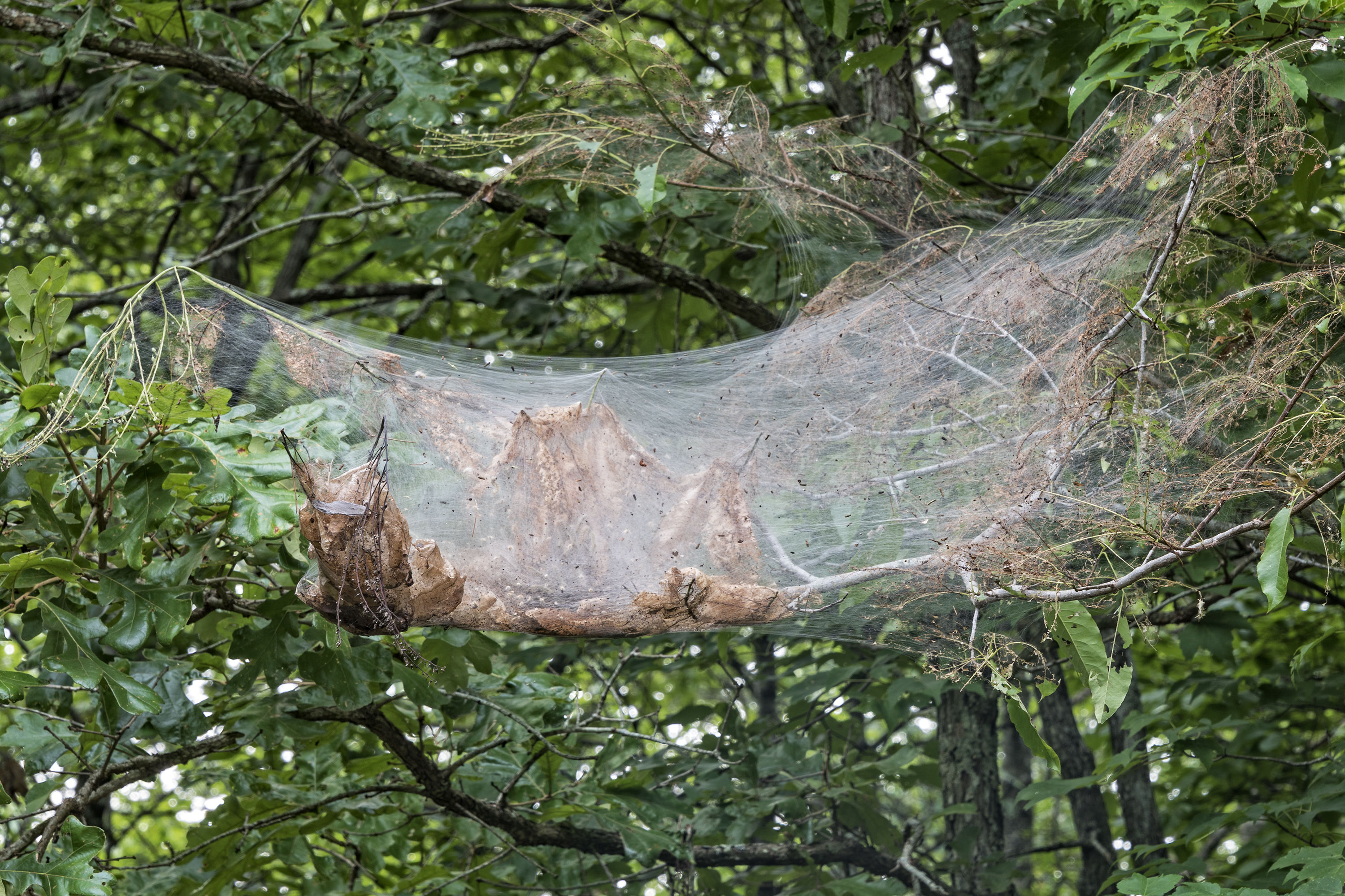 Eeek! Why Are Giant Spider Webs Covering My Trees?