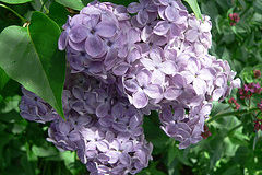Is the South Too Hot for Lilacs?