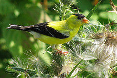 Goldfinch Gangs Terrorize Garden! Mutilated Flowers Cry for Help!
