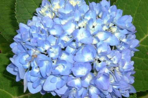 The Truth About 'Endless Summer' Hydrangea