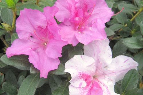 When to Prune Encore Azaleas