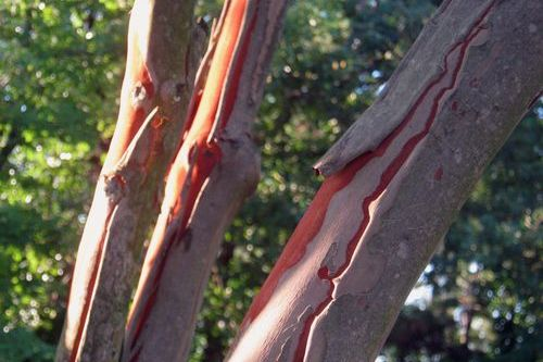 Crepe Myrtle Bark Peeling Off? Hydrangeas Wilting? Grumpy to the Rescue!