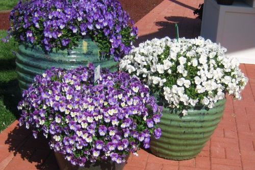 Plant These Great New Pansies Now!