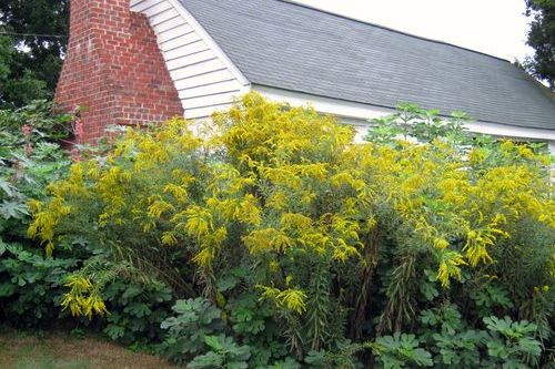 Don't Sneeze at Goldenrod