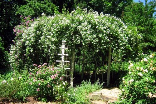 Don't Reject This Rambling Rector -- Grumpy Rates A Rose
