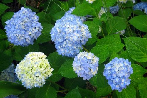 It's Hydrangea Time!