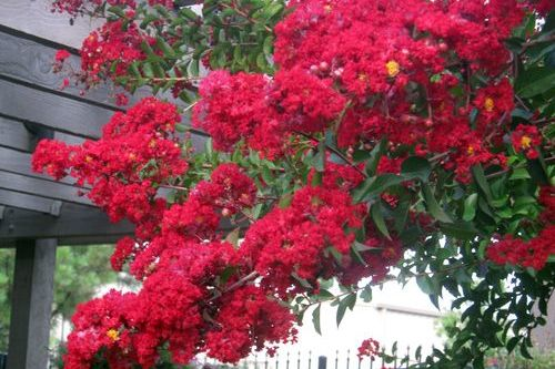 What Killed My Crepe Myrtle?