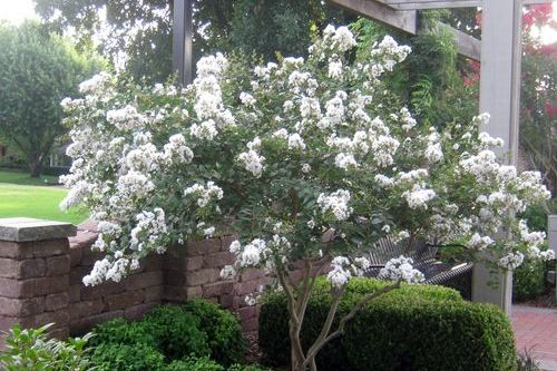 Plant A Smaller Crepe Myrtle This Year