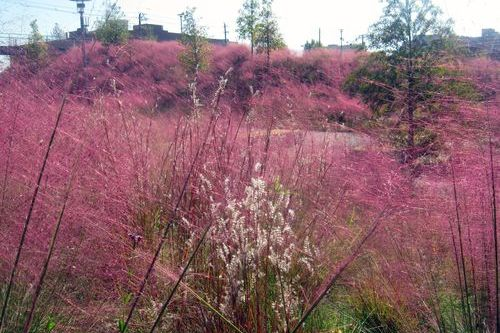 The Pink, Pink Grass of Home