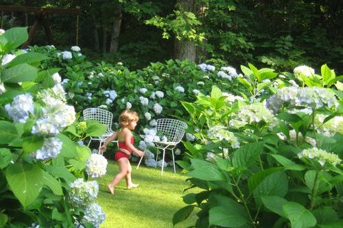 Why Your Hydrangea Didn't Bloom