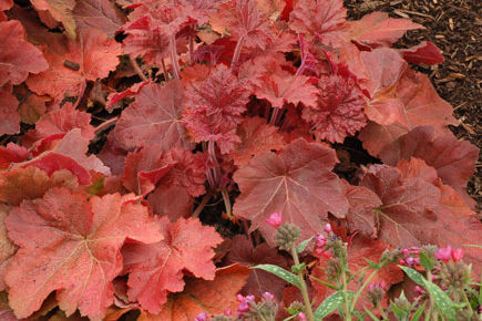 Hooray for Heuchera! Beauty Made in the Shade