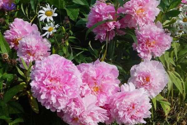 Don't Covet Thy Neighbor's Peonies
