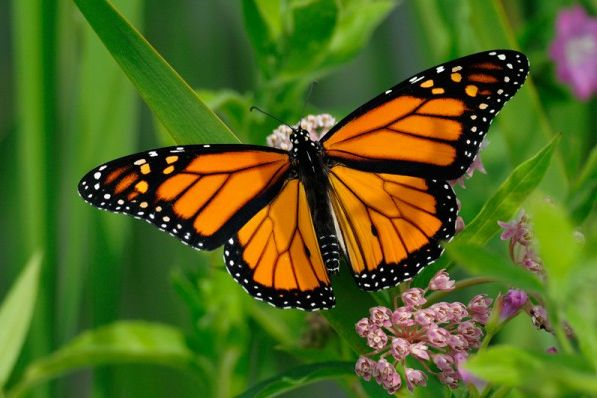 Are Monarch Butterflies Doomed?