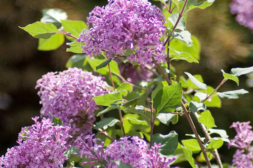 Blimey! This New Lilac Takes the Heat!