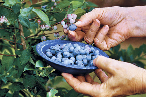 New Blueberries For Everyone!