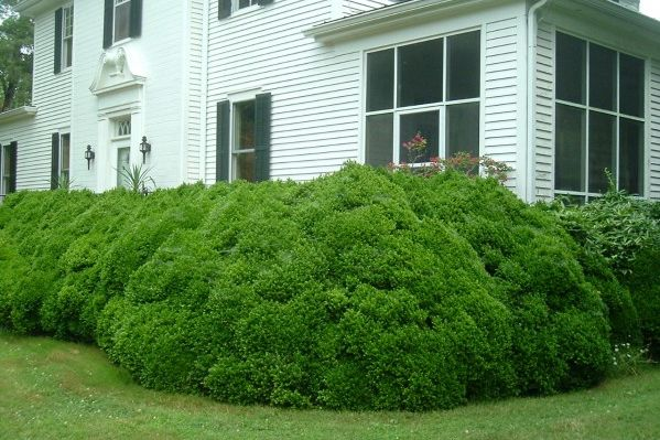 Pruning Big Boxwoods -- When & How