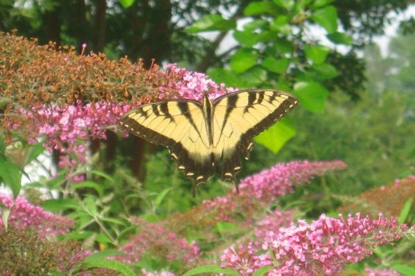 Five Great Plants For Butterflies