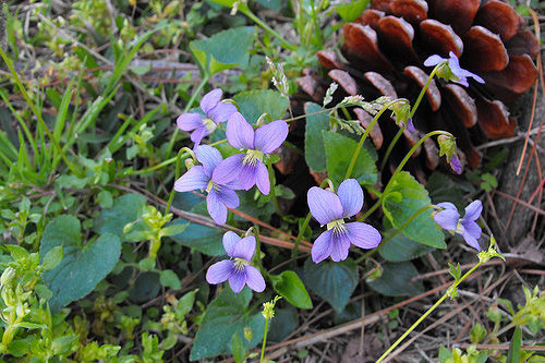 At Last! An Easy Way to Kill Violets
