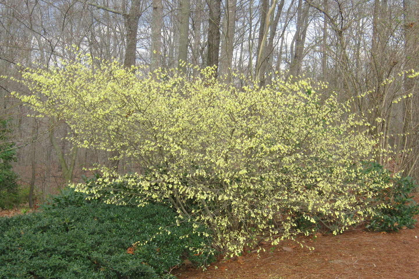 Sneak Peeks for Plant Geeks -- Buttercup Winter Hazel