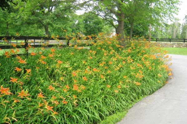 Daylily -- The Easiest Perennial