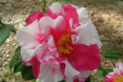 Big, Fat Camellias Steal the Show