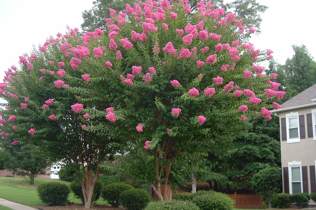 WATCH: What's Wrong With My Crepe Myrtle? 4 Common Problems