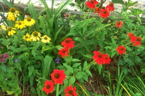 Five Hot Bloomers For A Hot, Dry Summer