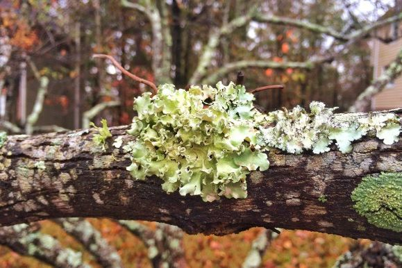 No, These Weird Things Called Lichens Don't Kill Your Trees