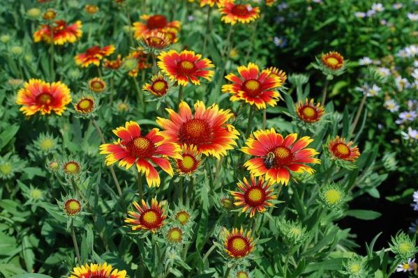 Blanket Flower Has Summer Covered