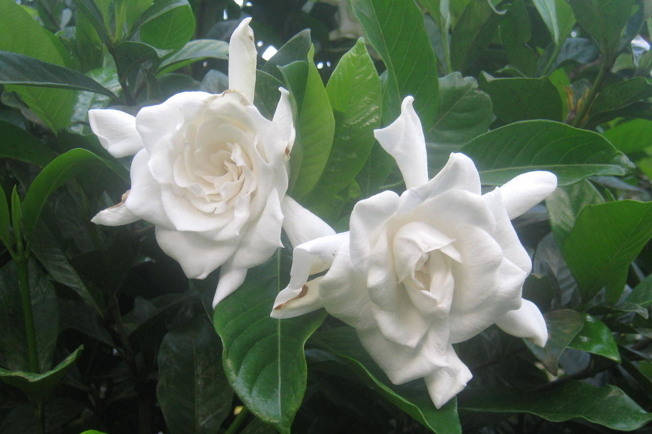 When Can I Cut Back Gardenia?