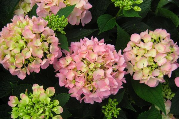 Why Your French Hydrangea Never Blooms