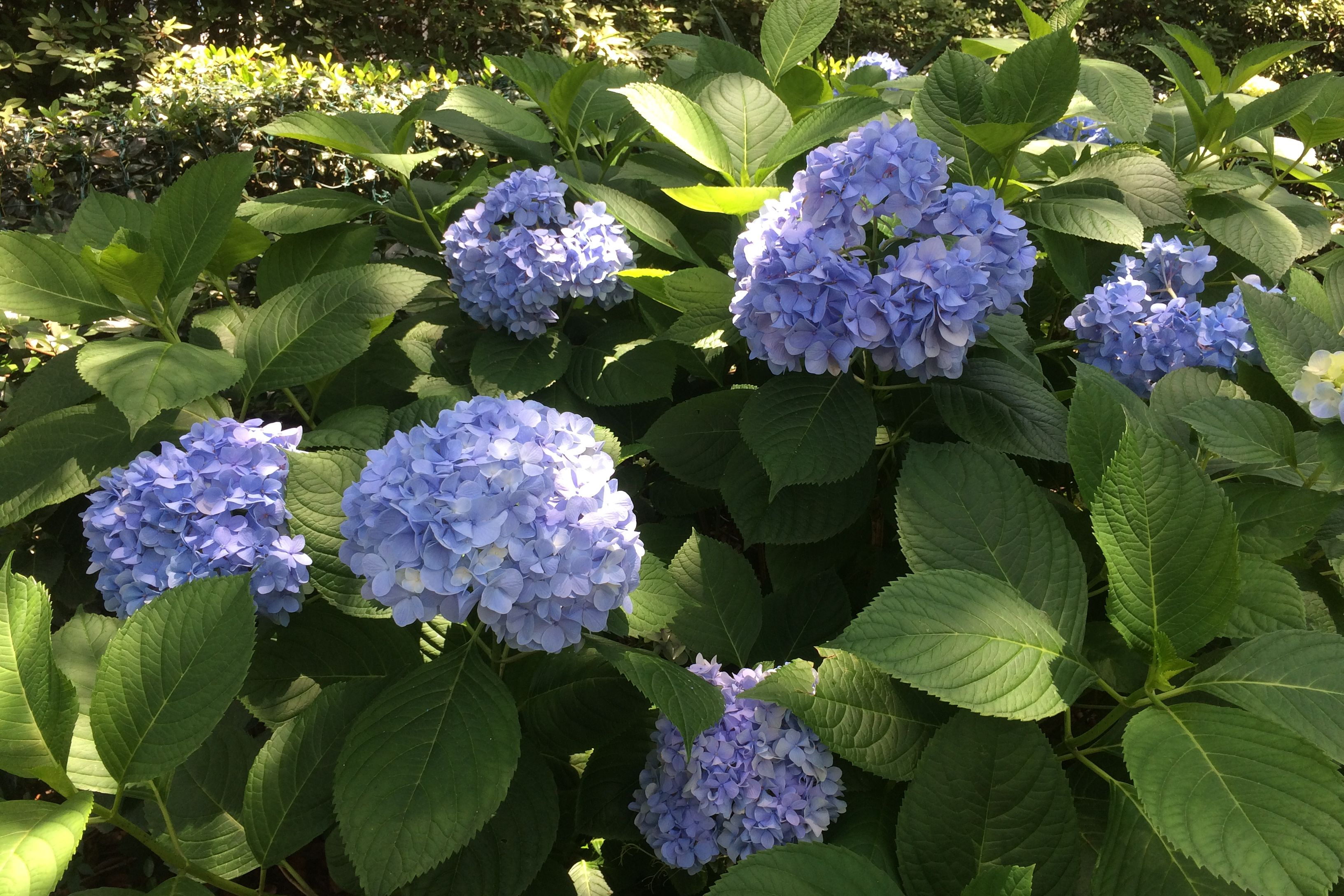 What's Wrong With My Hydrangea?