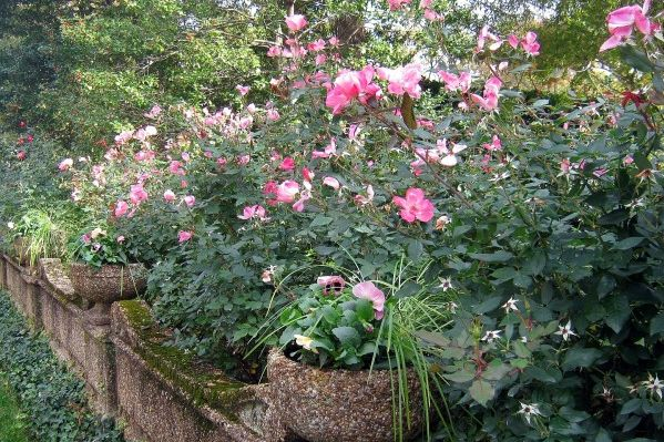 Pruning 'Knock Out' Rose -- When, Why, and How