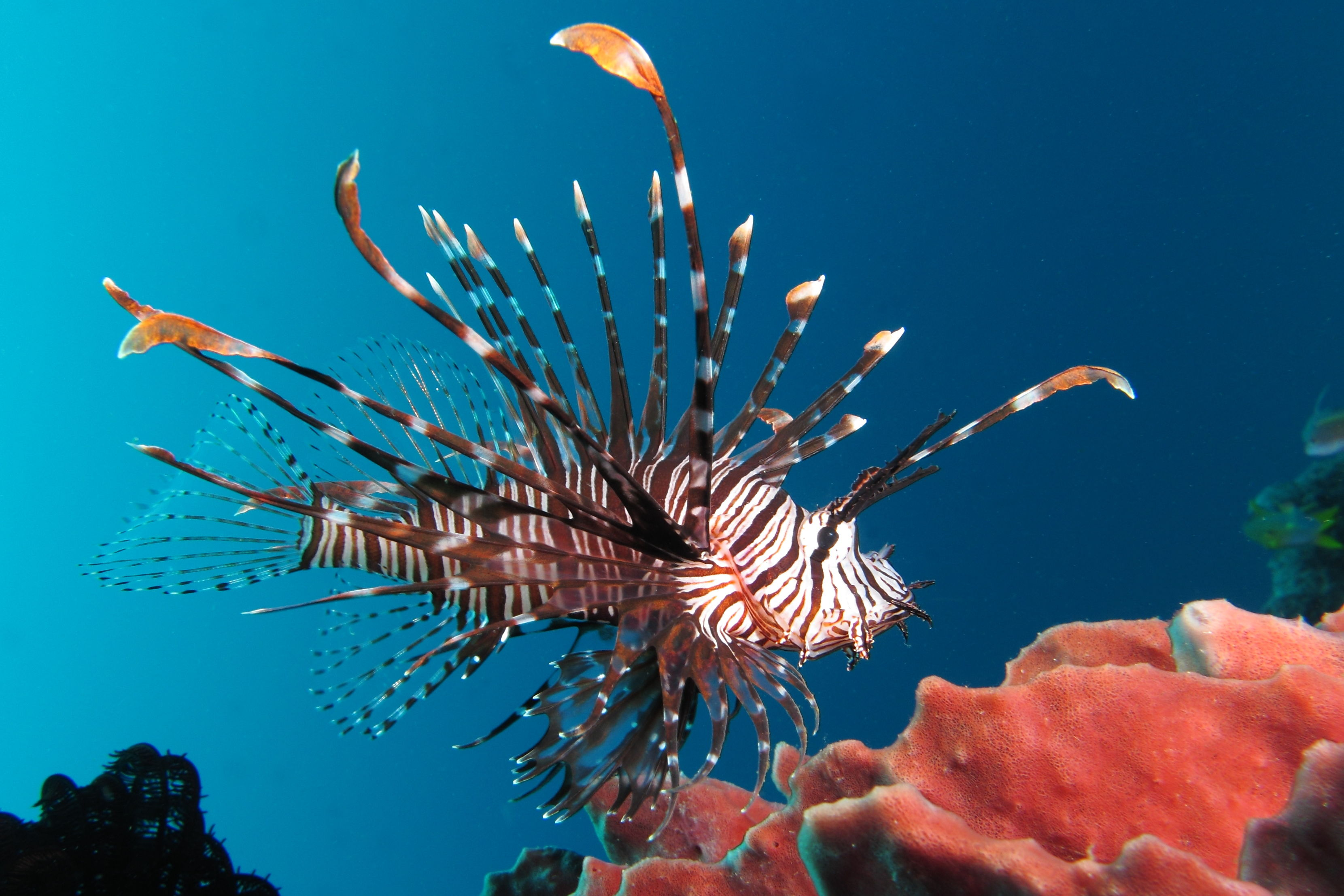 """Eat the Enemy""and Enjoy Lionfish This Summer"