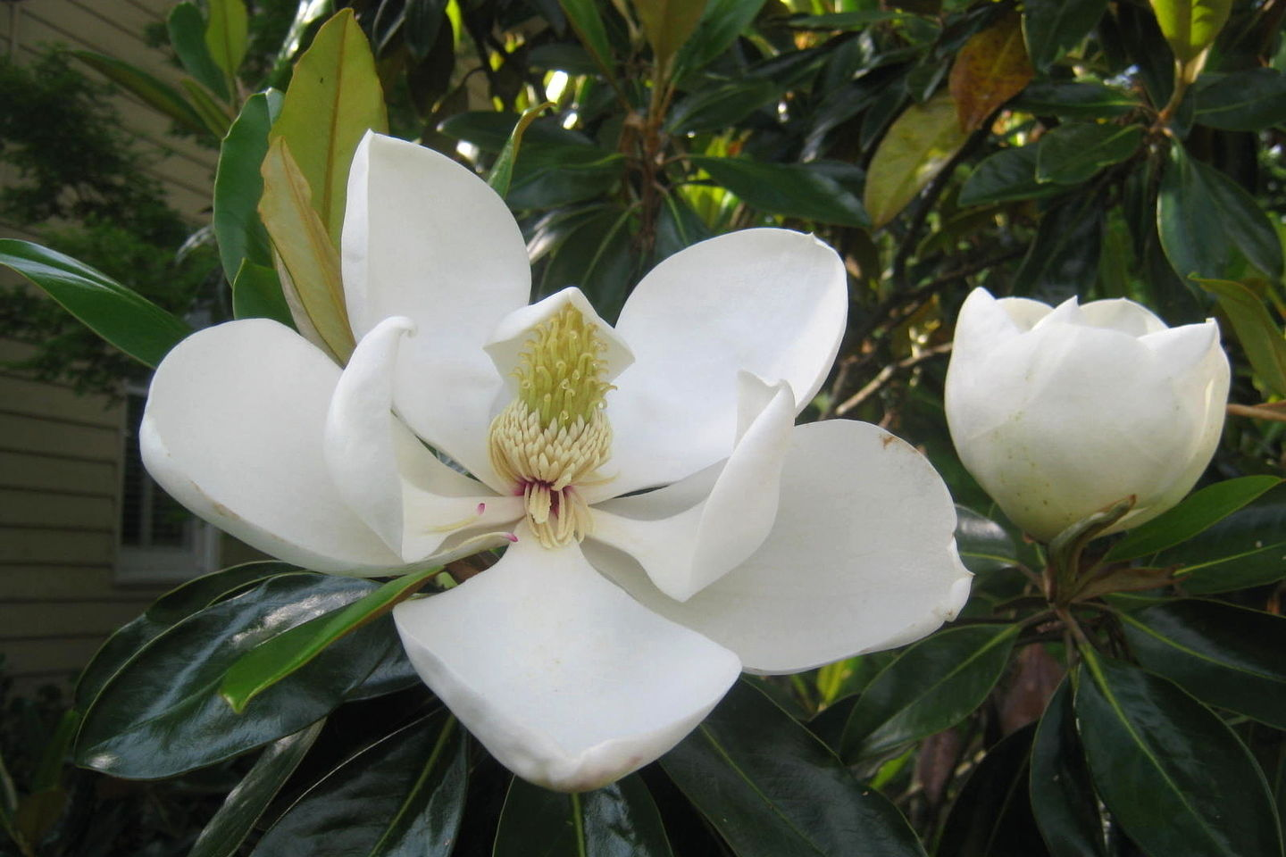 Pick the Right Magnolia