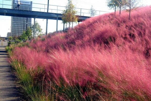 Think Pink This Fall! Plant Muhly Grass