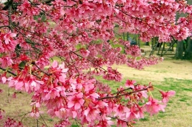 February's Prettiest Tree -- 'Okame' Cherry